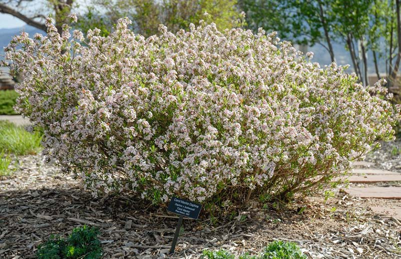 Carol Mackie Daphne has fragrant pink and white blooms appear in April.